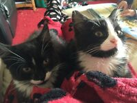 2 male long hair kittens