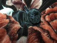 1 kc registered. Black boy left out of litter of 7 French bulldogs