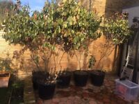 5 mature Photinia Red Robin Hedge Plants, 3 metres tall, in pots