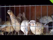 JAPANESE QUAILS AND FERTILE EGGS!!!!!!!!!!!! Rochedale South Brisbane South East Preview