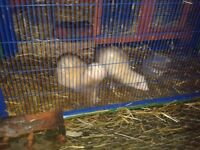 Male and female ferret including full set up