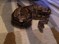 Royal Python for sale REDUCED PRICE