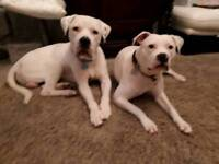 Pure American Bulldogs puppies looking for good homes