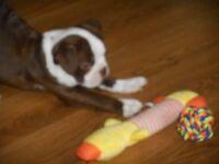 kc reg boston terrier pup for sale 1 left green eyes