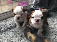 Beautiful bulldog puppies , ready to leave for their new homes
