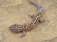 Male Jungle Mack Snow Het Radar Leopard Gecko #1
