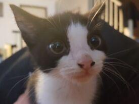 Persian Doll face cross kittens
