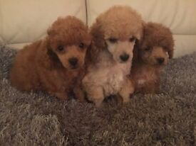 2 DEEP RED 1 APRICOTE TOY POODLES