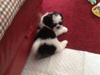 Shih Tzu puppy girl