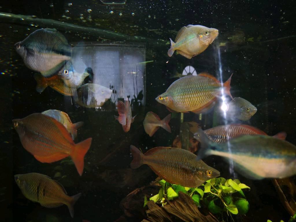 rainbow tropical fish in sittingbourne kent gumtree