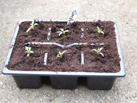 Tomato – Tumble Tom Red – Tray of 6 seedlings £2.00