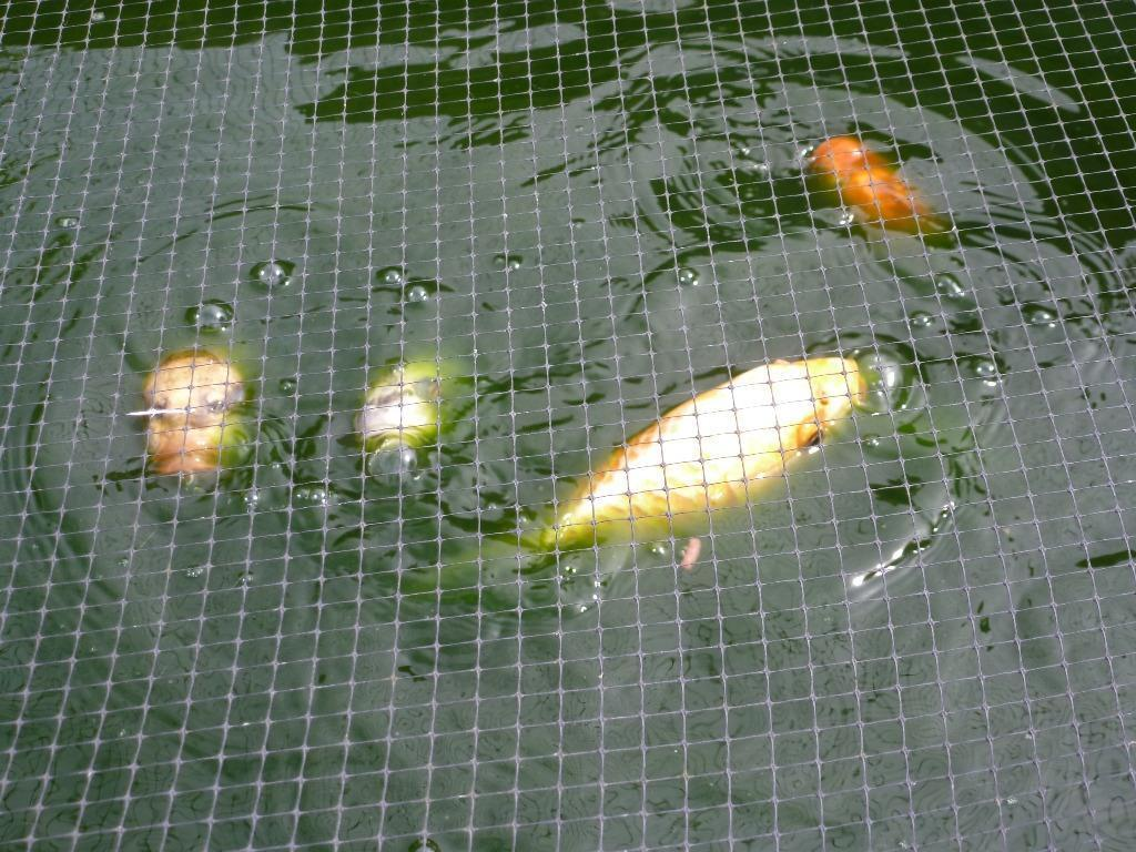 Koi Carp For Sale In Weymouth Dorset Gumtree