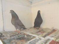 1 PAIR OF BIRDS