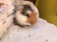 Pure Swiss baby boy Guinea pig ready now