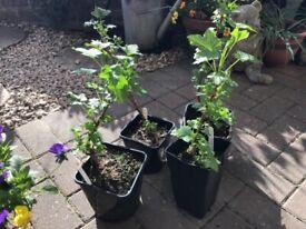 Blackcurrant Plants