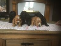 Cocker pups, beautiful litter of cocker pups, bred for temparment and companionship
