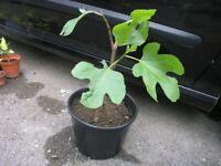 10 Garden Plants For Just £10 Incl Fig, Hebe, Fushia,Rockery Plants,Montbrecia etc etc Weymouth