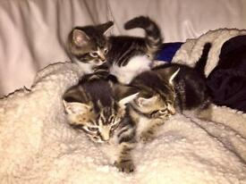 3 tabby female kittens