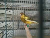 Healthy, Active Male Canary 2014