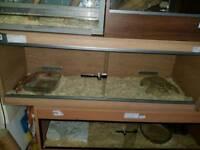 Orange male corn snake 4ft long