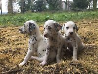 Dalmatian puppies, Irish KC reg, micro-chipped and vaccinated by 8 weeks