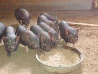 Baby Pot Bellied Pigs For Sale