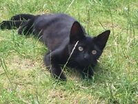 Black kitten for sale, nearly four months old, lovely playful kitten.