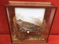 Taxidermy Turtle Dove - Vintage Taxidermy - Stunning Solid Case - Good Condition - Reduced