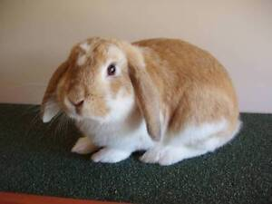 Mini Lop, Ginger & White Buck Elizabeth Town Meander Valley Preview