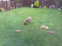 bedlington terrier female 14 weeks old for sale due to no fault of her own