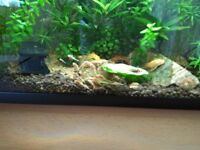 Super Red Bristle Nose Plecostomus Aquarium Bottom Feeding Gold / Lemon Blue Eyed Pleco + Red Cherry