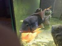Firemouth free to good home