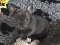 Solid blue French Bulldogs