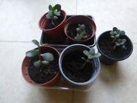 5 INDOOR PLANTS SMALL MONEY PLANT/TREE WATCH THEM GROW