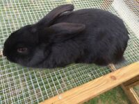 Black Mini Lop X Rabbit