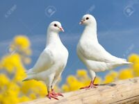 WHITE PIGEONS FOR SALE.