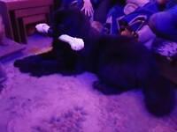 Newfoundland 9month old dog