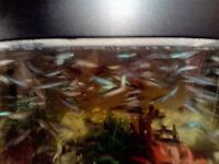 GUPPIE FISH FOR SALE