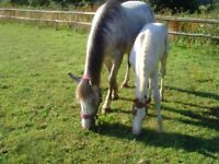 15hh Mare with Foal at foot