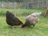 4 chicken free