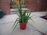 Small Aloe Vera Plant with Pot for sale