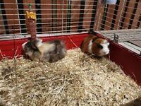 2 guinea pigs (male) 6 months old with cage and supplies