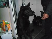 GERMAN SHEPHERD GOOD DOG BLACK WELL HOUSE TRAINED MANCHESTER M30 0WX 07706260291