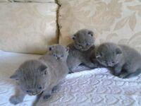 GCCF Pedigree BSH Blue kittens for sale