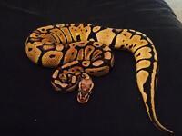 Gorgeous CB16 Male Pastel Royal Python