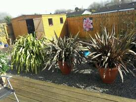 A SELECTION OF STUNNING MATURED PLANTS ALREADY IN LARGE CONTAINERS TO STAY IN OR PLANTED.