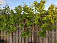 8 year old Plum Tree, Oulan Gage, pot grown and trauned on canes, loaded with fruit