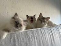 Ragdoll kittens purebred (last 3)
