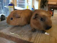Baby Male Guinea Pigs for Sale
