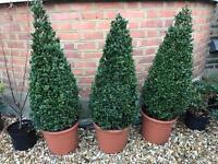 3 beautiful buxus pyramid trees 135cm x 35cm